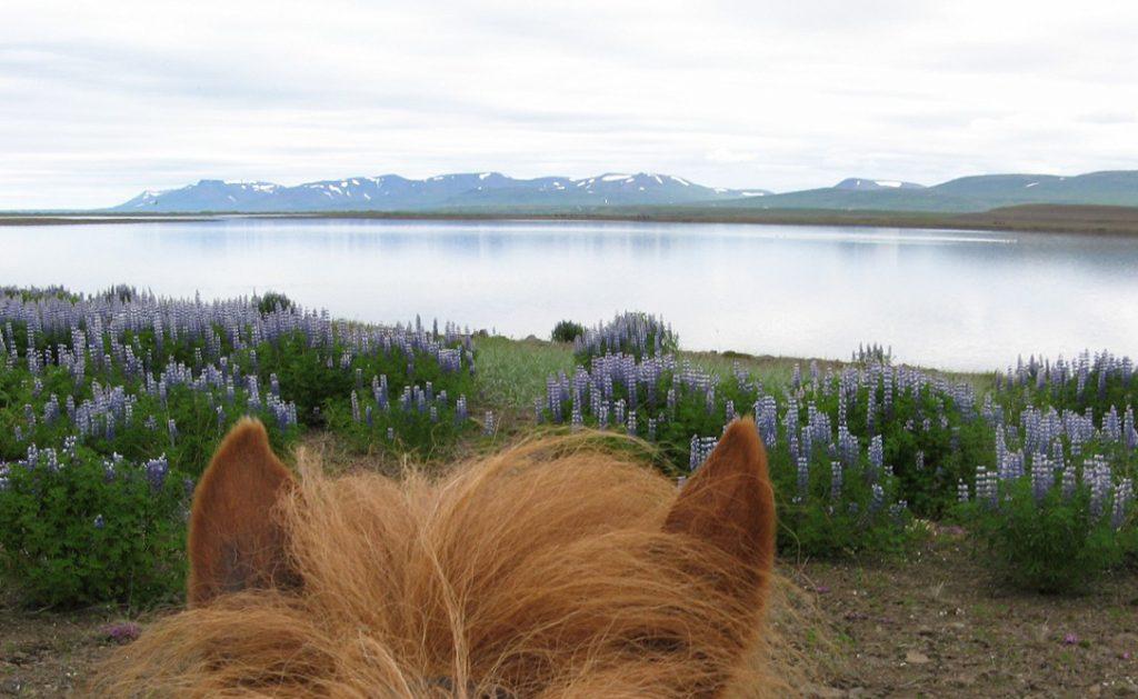 Lupinerne im Norden in der Nähe von Hvammstangi.