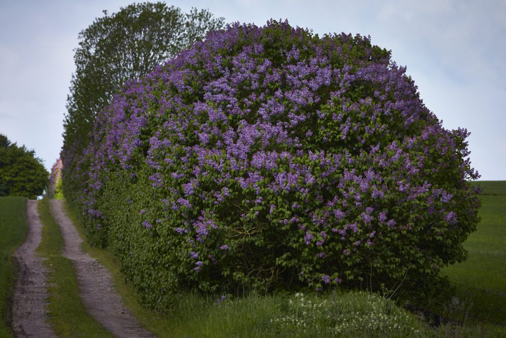 Lilac hedges.